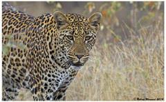 A82B2074 Leopard Panthera pardus Kruger NP 30.06.2014 1  4 Day Kruger Park Classic Safari
