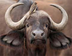 buffalo-safaris