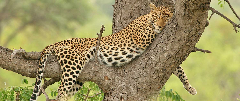 Kruger Park Safari Leopard