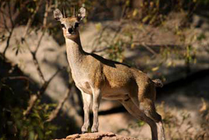 5 day budget kruger safari klipspringer