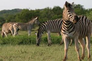 4 day camping kruger safari zebras grazing