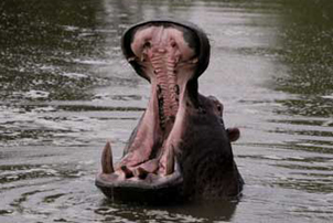 4 day classic kruger safari hippo yawn