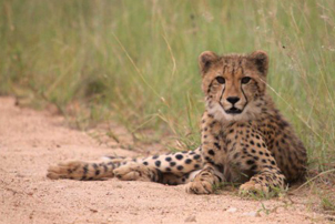 4 day fly in classic kruger safari young cheetah