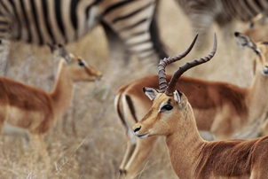 4 day classic fly-in kruger safari impala and zebra mirage