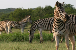 5 day safari collection zebras herd on green grass