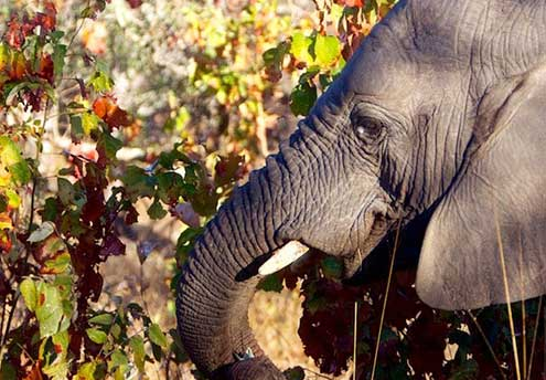 private luxury game lodge kapama southern camp elephants grazing