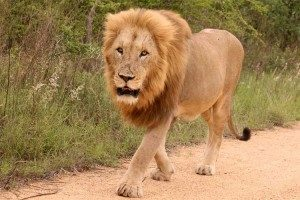 3 day budget kruger safari male lion