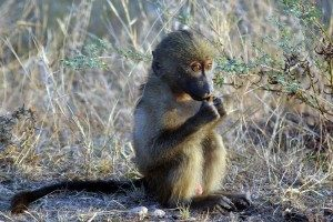 Baby monkey on a camping safari.