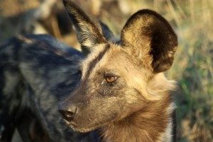 Wilddogs in the Kruger National Park