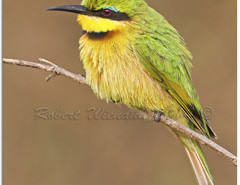 A82B2686 - Little Bee-eater - Merops pusillus meridionalis - Kruger NP - 12.08.2014 - 1