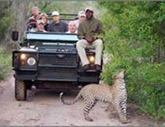 4 day budget kruger safari leopard on road