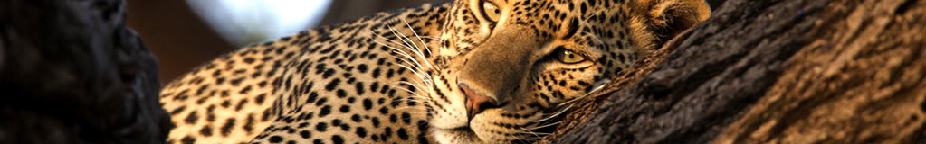contact us for a kruger safari leopard eyes