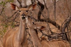 3 day classic kruger safari kudus