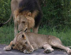 lion-mating