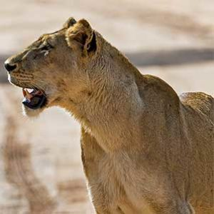 kruger-safari-classic-safari-lioness-on-the-lookout