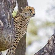 kruger-safari-cheetah-fly-in-safari