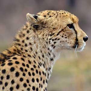 kruger-safari-cheetah-portrait