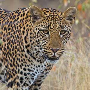 kruger-safari-leopard-on-the-prowl