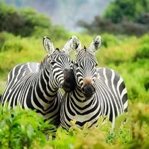 kruger-safari-pair-of-zebras