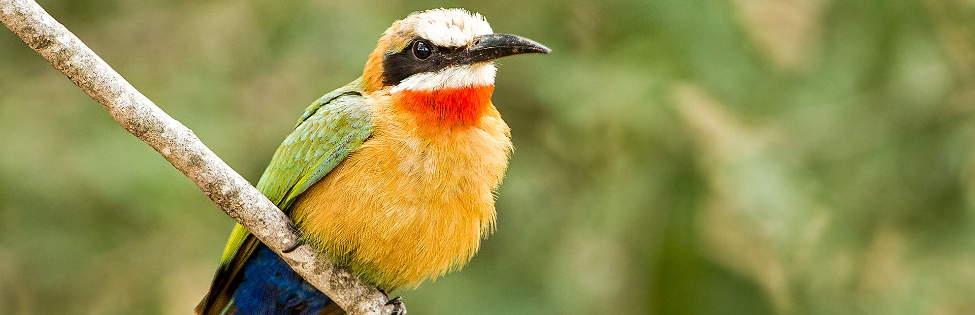 white-fronted-bee-eater-kruger-camping-safari-blog