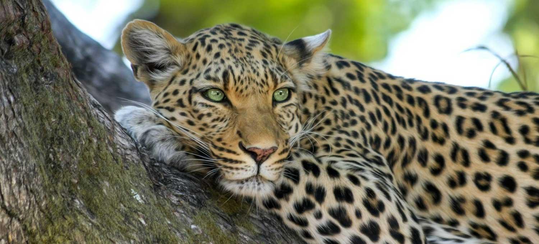kruger-wildlife-safaris-rare-leopard-sighting-in-tree
