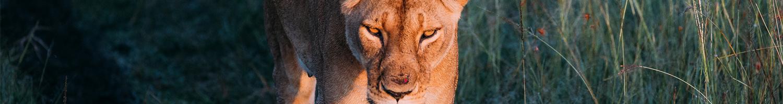 3-day-classic-header-lion-pride