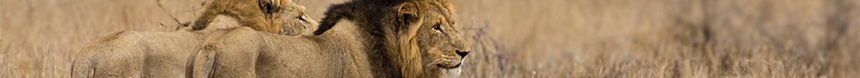 kruger-wildlife-male-lions