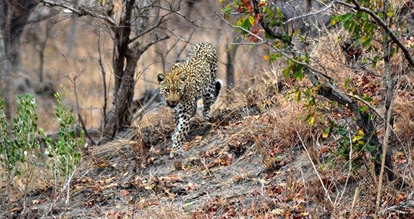 kruger wildlife safaris female leopard