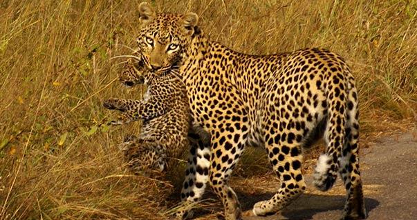 kruger wildlife safaris female leopard and cub